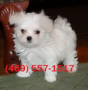 Teacup Maltese Pups For Sale Chattanooga Tn Asnclassifieds