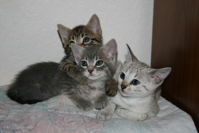 Rosetted Toyger Kittens Available - Santa Ana, CA | ASNClassifieds