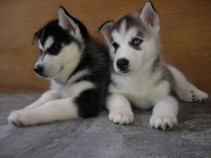 Siberian Husky Puppies For Sale Abilene Tx Asnclassifieds