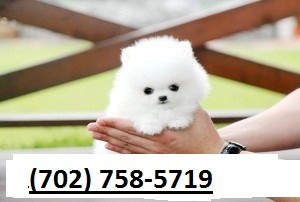 Amazing Pom Puppies Available