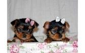 Two Adorable Tea Cup Yorkie Puppies For Adoption