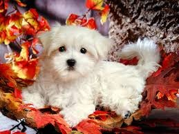 Small Maltese Puppies Available