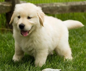 Registered Golden Retriever  Puppies