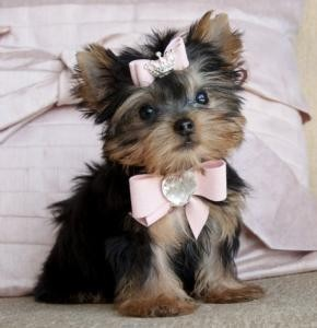 Gorgeous Yorkie Puppies for Sale $250.00