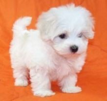 Two Beautiful Male and Female Maltese puppies
