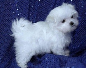Intelligent Maltese Pups **FREE** Adoption