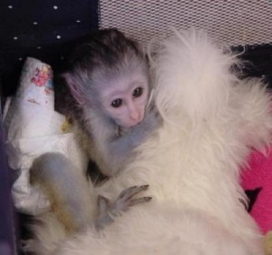 Monkeys - Florida - Free Classified Ads