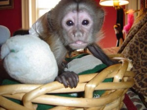 Cute baby Capuchin Monkeys For Free Adoption