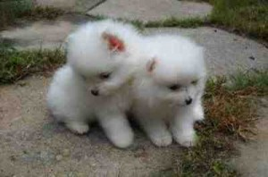 Lovely male and female Pomeranian puppies for adoption