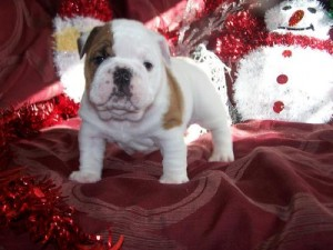 X MAS WELL TRAINED ENGLISH BULLDOG PUPPIES READY FOR ADOPTION