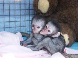 Monkeys Alexandria La Free Classified Ads