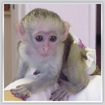 Quality X-mas baby Capuchin monkeys available for adoption email us for more details and pictures at {chrisepaul75@yahoo.com}