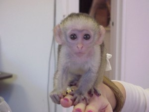 adorable Xmas  capuchin Babies Ready For their new homes for adoption