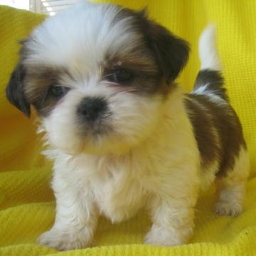 Shih  Puppies on Shih Tzu Puppies
