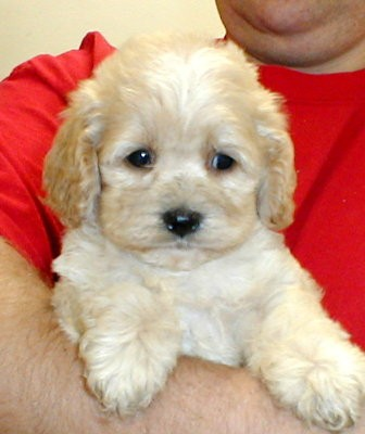 Cockapoo Puppies  - Edmond, OK | ASNClassifieds