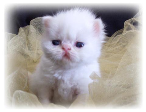 Persian cat rescue louisiana