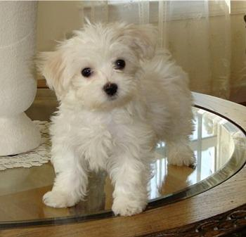 Maltese Puppies on Adorable Male And Female Teacup Maltese Puppies Ready For A New Hom
