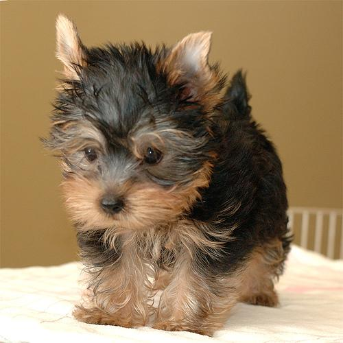 Adroble Yorkie Puppies For Adoption