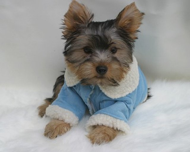 i have beautiful yorkie puppies available for free re homing