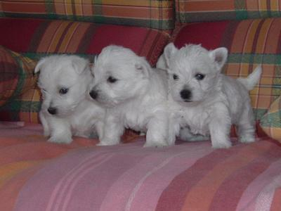 Westie Puppies on Westie Puppy   100 00 Westie Puppy Type Puppies Westie Pub Senior