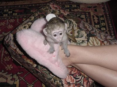 adorable capuchin monkeys for rehoming