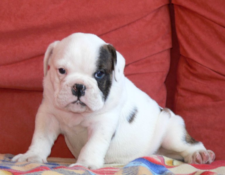 Both male and female English Bulldogs available.