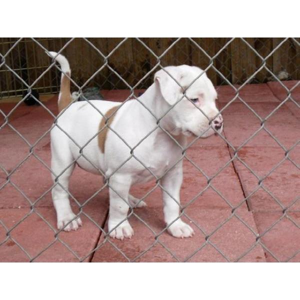 Bulls Black Pit Bulls Blue Tri Pit Bulls Black Tri Pit Bulls Fawn ...