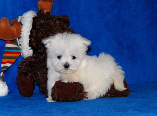 Beautiful little male female Maltese Puppies