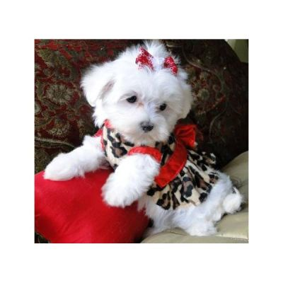 Male and Female Maltese Puppies Available For X - Mas