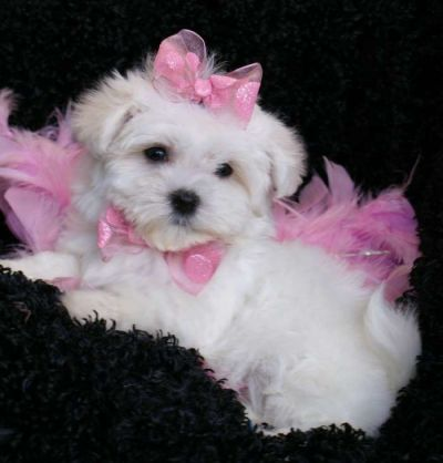 Teacup Maltese Puppies on Teacup Maltese Puppies For Free Adoption Precious Teacup Maltese