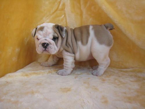 lovely english bulldog puppies for x english bulldog puppies for sale 500x375