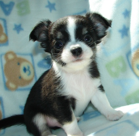 Cute And Beautiful Teacup Chihuahua Puppies Free For Adoption
