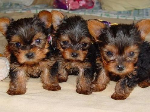 Teacup Yorkie Puppies on Teacup Yorkie Puppy For Adoption
