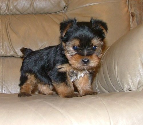 Wow---Nice Charming Yorkie Puppies i have nice baby face Yorkie