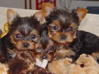 pics of yorkies puppies. Adorable Teacup Yorkie Puppies For Free Adoption