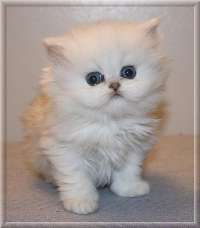cute short hair persian kittens for free adoption - Aventura, FL ...