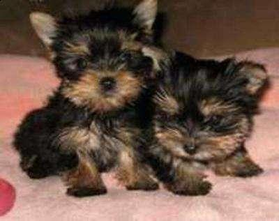 Pure breed male and female and female Yorkie puppies for adoption