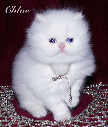 valentine himalayan persian kittens reduce price persian cats 432x506