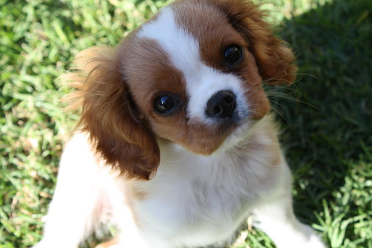 Excellent Cavalier King Charles Spaniel puppy for adoption ... - photo#38