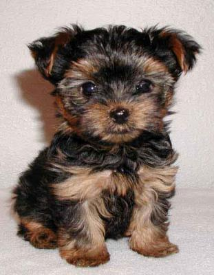 Cute Yorkie Puppies For Free Brookings Sd Asnclassifieds