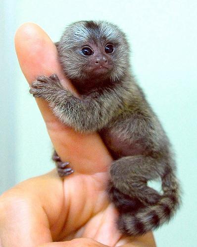hewan paling lucu di dunia, hewan lucu. Marmoset monkey