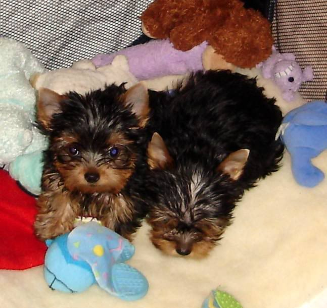 Adorable Teacup Yorkie Puppies For Free