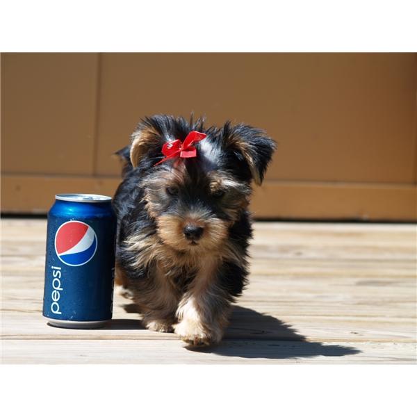 Teddy Bear Tiny Teacup Yorkie Puppies For Adoption Cartersville