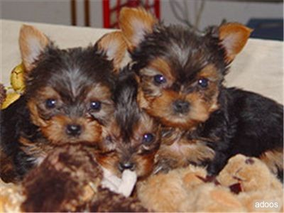 Gorgeous Teacup Yorkie Puppies For Free Adoption Atlantic City Nj