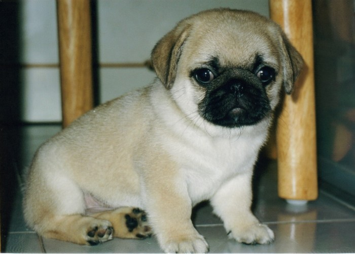 male and female pug puppies pug puppies 700x500