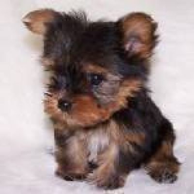 Puppies Cute Yorkie Dogs