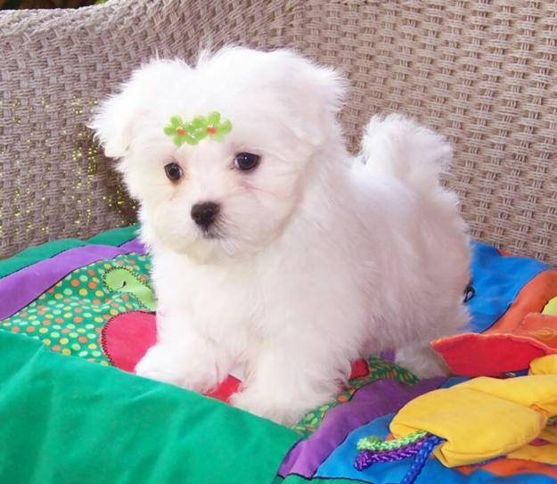 Teacup Maltese Puppies for Free Adoption