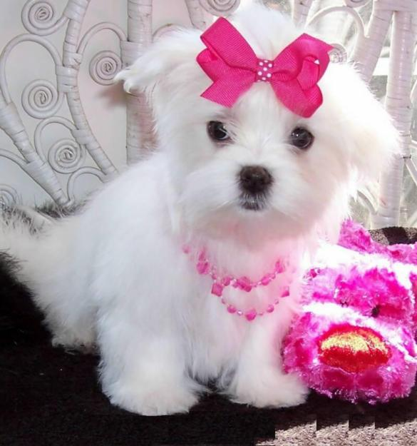 lovely Maltese puppies for sale,