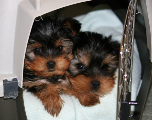 Cute Teacup Yorkie Puppies For Adoption Ready To Go To New Home Va
