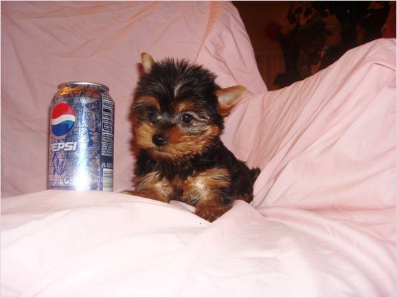 Pictures of Newborn Yorkie Puppies http://www.asnclassifieds.com/affectionate-teacup-yorkie-puppies-for-adoption-m1933.html